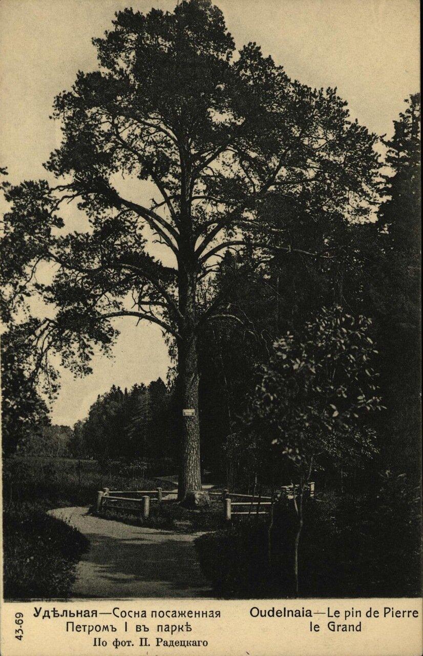 Сосна, посаженная Петром I в парке