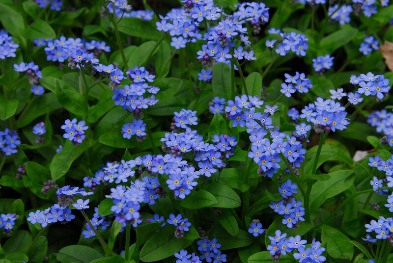 Цветок миосотис