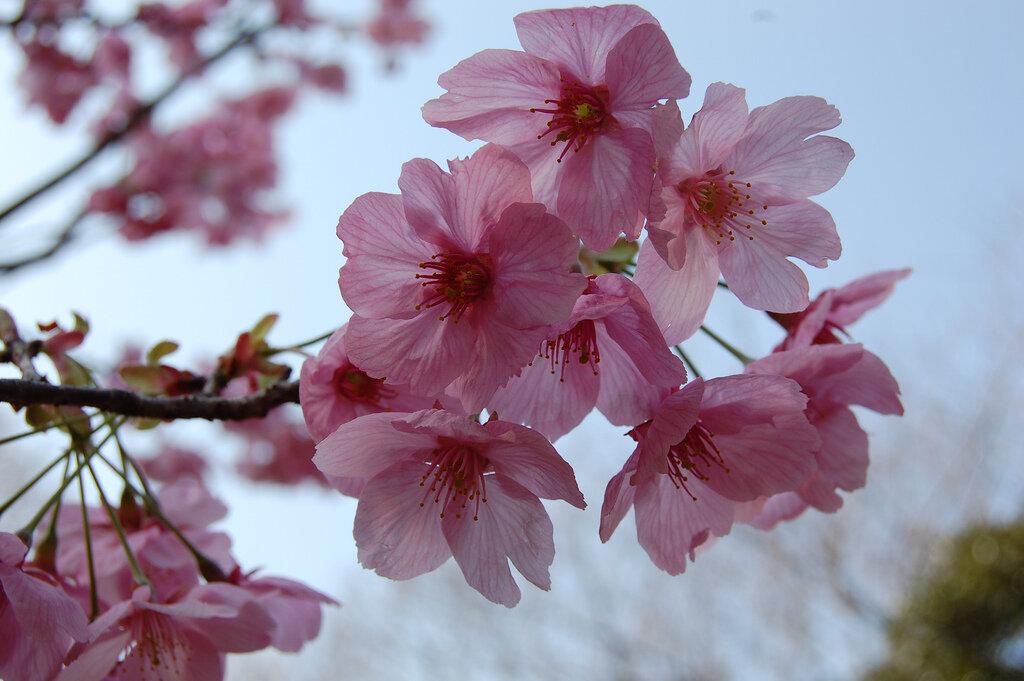 О цветении сакуры