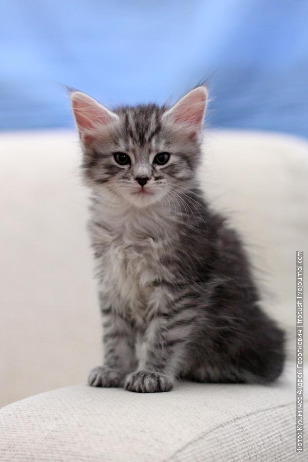 шестинедельный котенок Мейн-кун Мардж