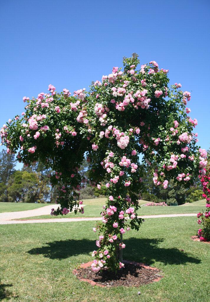 город был роза розовое дерево фото и описание описание