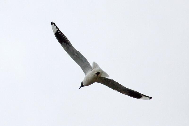 Андская чайка