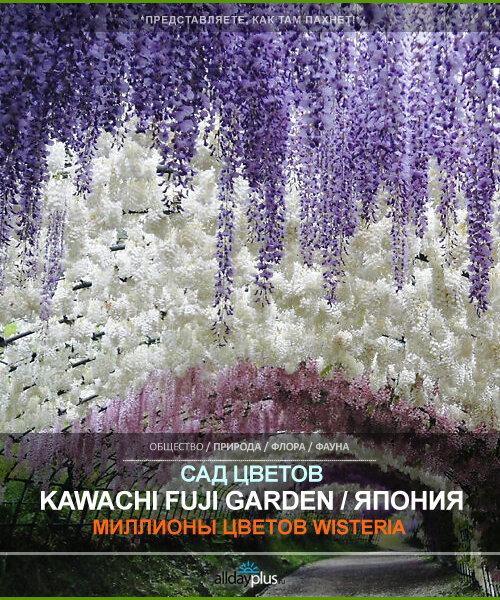 Цветочный рай. Kawachi Fuji Garden / Сад цветов Кавати Фудзи. Япония. 30 фото.