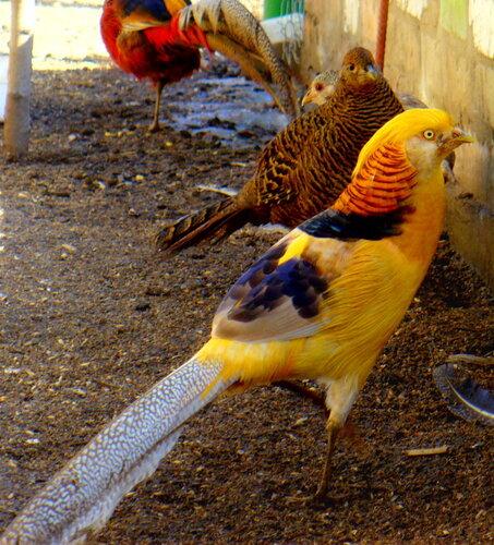 Золотой фазан лимонная форма
