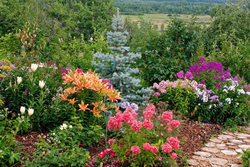 Ель Эдит, метельчатые флоксы, лилии, астранции, розы.