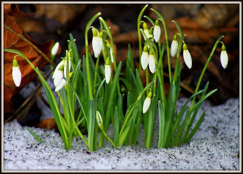 Картинки природы весной подснежник зацветет