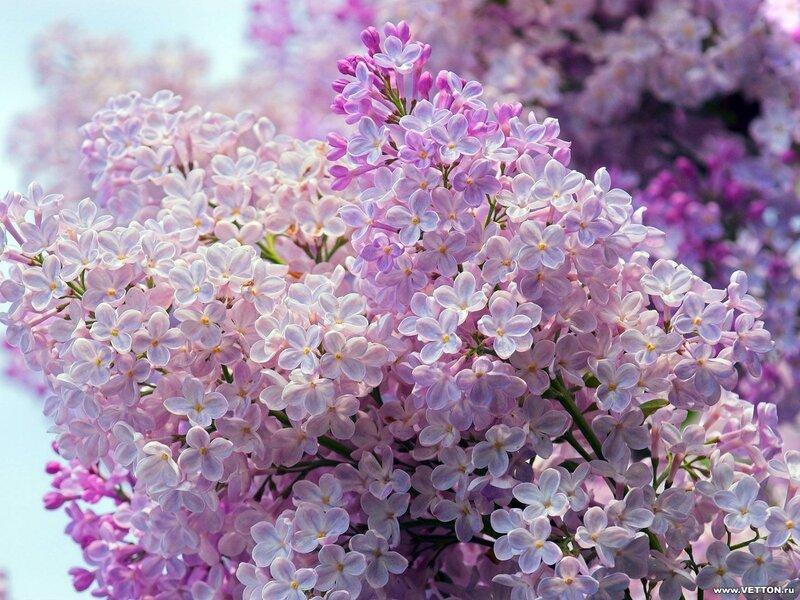 Сирень белая розовая сиреневая  № 3065870 бесплатно