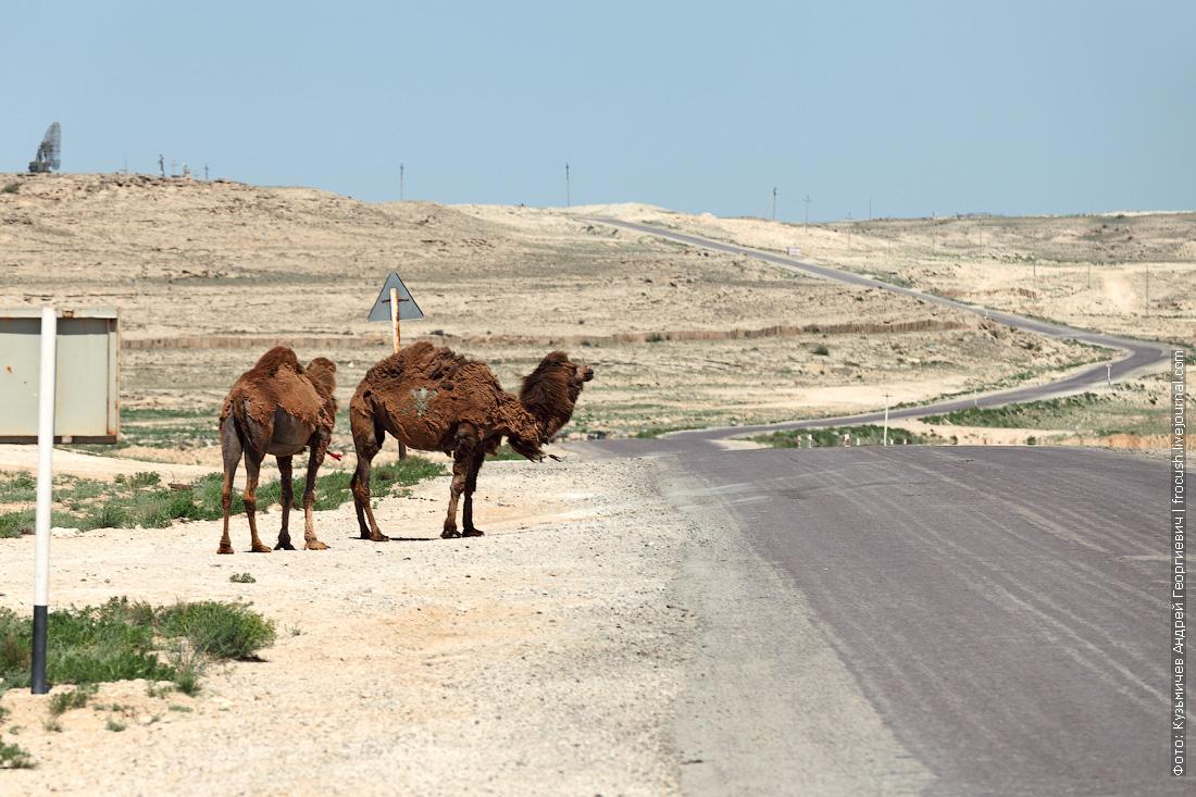 Форт-Шевченко верблюды