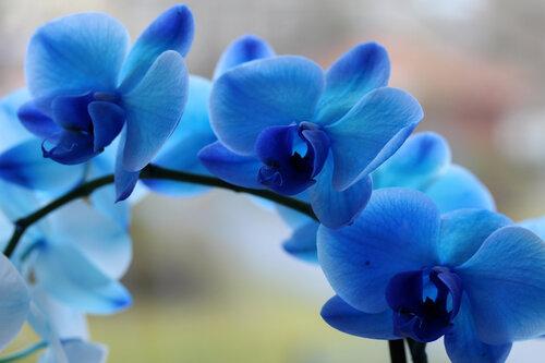 Голубая орхидея цветок