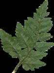 cvd secrets of the heart fern.png