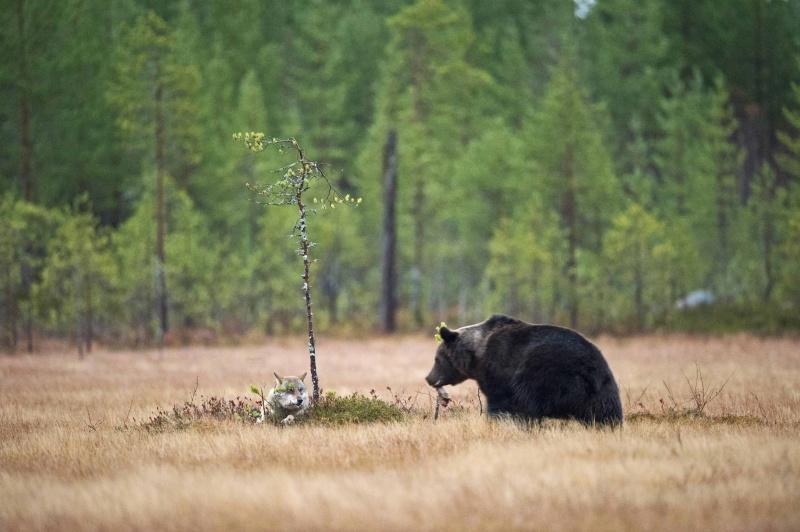 «Это очень необычно— видеть, как волчица имедведь по-настоящему дружат»,— рассказывает фотограф.