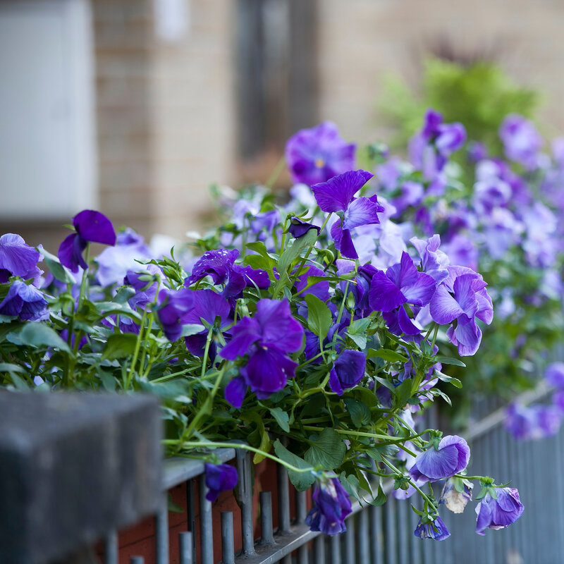 blue violets decorate a house on a fence