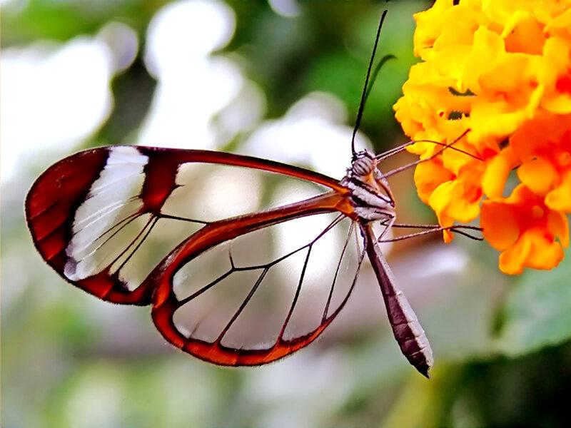 Greta oto - стеклянная бабочка