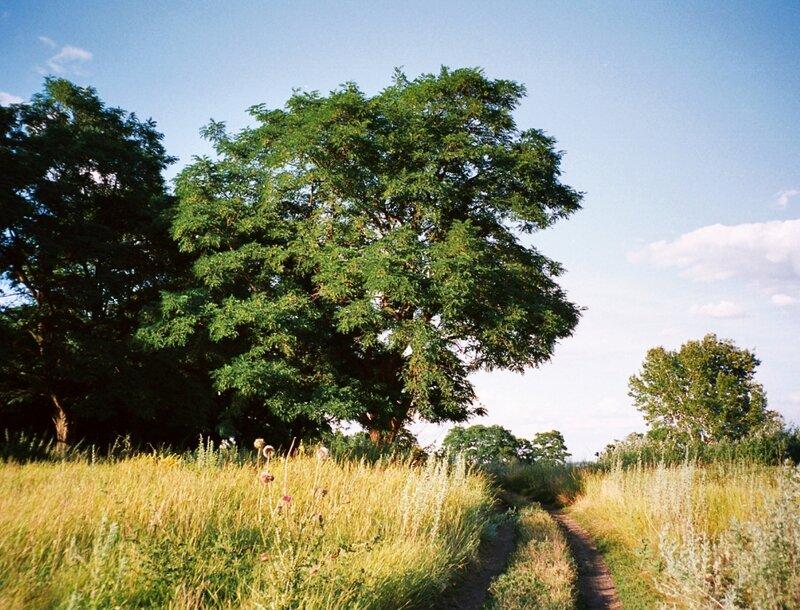 Золотые горки, Дерево у дороги