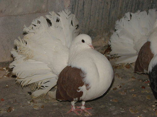 фото павлины голуби