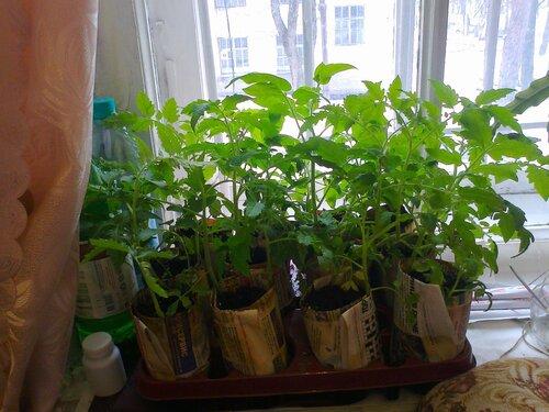 Выращивание ранних томатов от дядьволодь 79