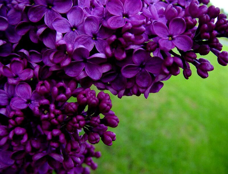 Цветок радужный фото