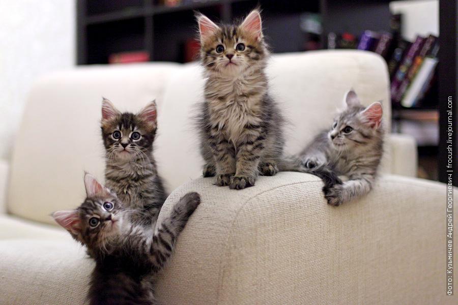 двухмесячные котята Мейн-кун