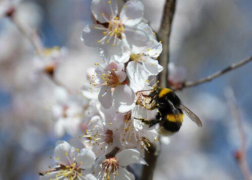 spring, trees, flowers, sakura, nature, Siberia, insects, bumble-bee, сакура, весна, Красноярск, сакура в цвету, фото, фото сакуры, насекомые, шмель, шмель на цветке, дерево в цвету