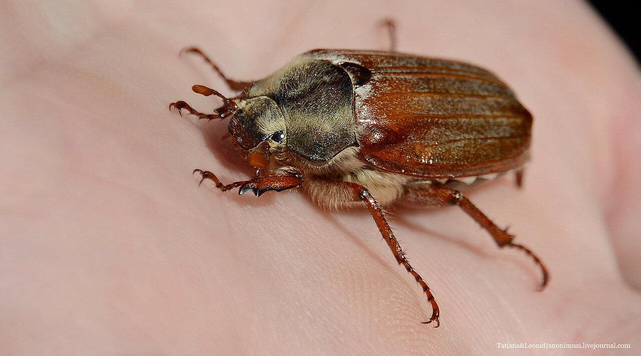 Майский жук или хрушч