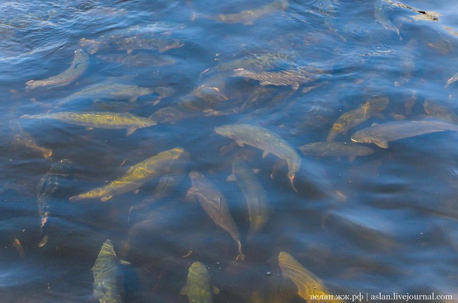 26. Рыбы в садках много. У Николая Владимировича в год выращивается около 450 тонн рыбы, плюс еще не