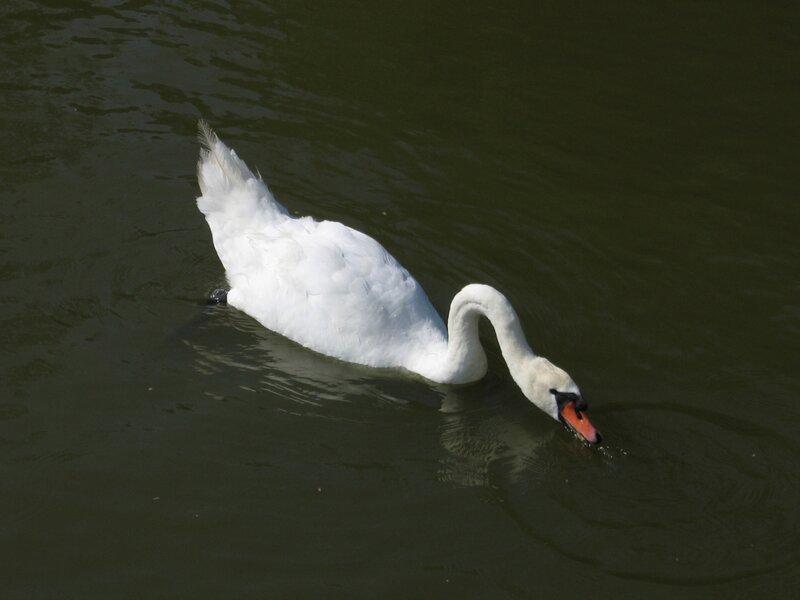 Лебедь в Куршском заливе