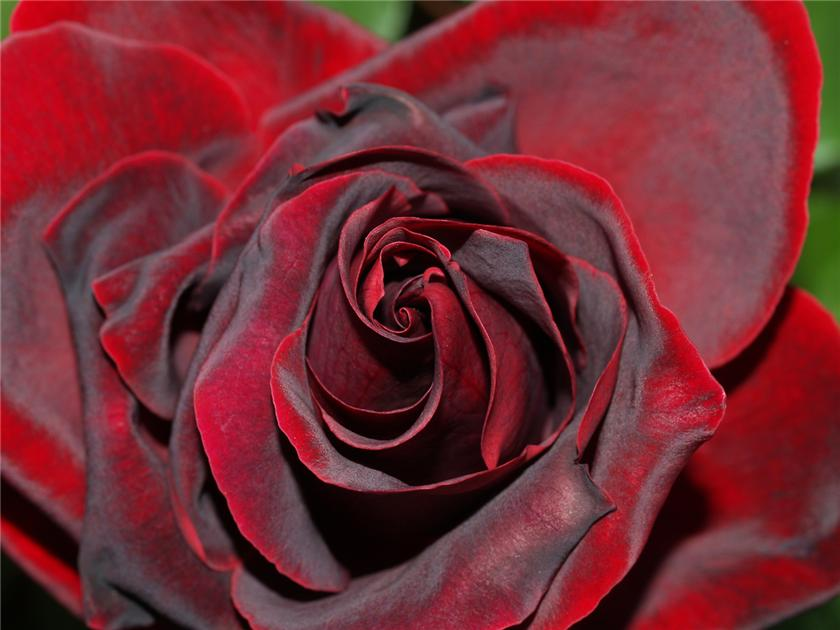 картинки бархатными розами