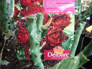 Саженцы роз в контейнерах! Уже в продаже в наших магазинах!