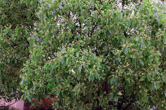 Дерево похожее на липу в Хайнине