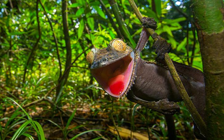 Ухмыляющийся геккон — мастер камуфляжа (11 фото)