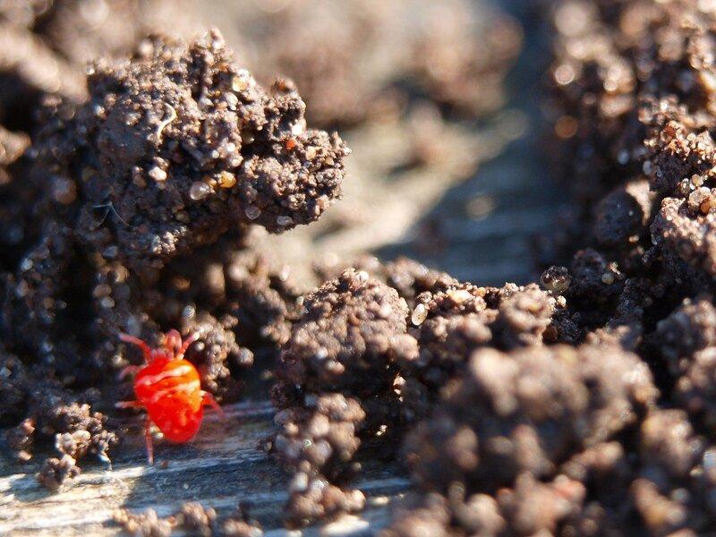 Красный земляной клещик (клещ-краснотелка Trombidium holosericeum)