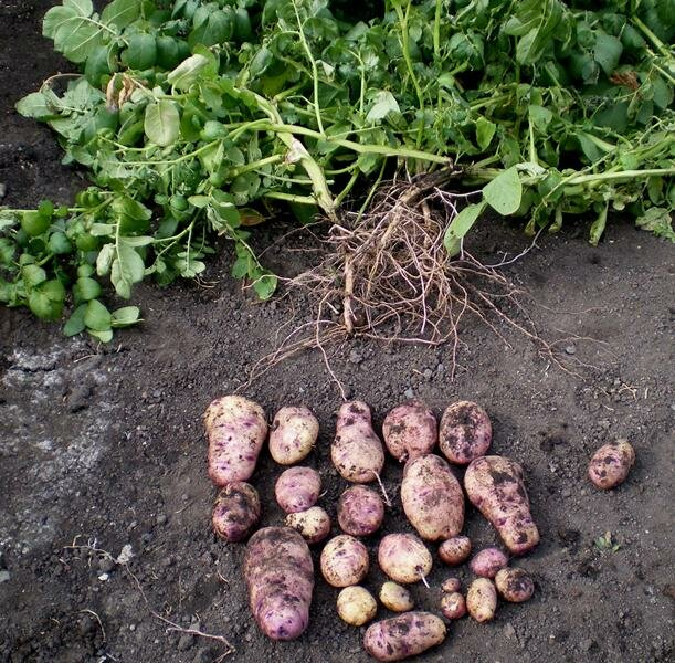 Очень ранний картофель из рассады