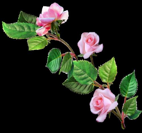 Саженцы плодовых деревьев хризантемы розы цитрусовые