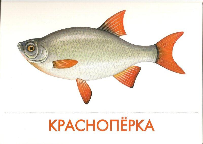 Дидактические картинки рыбы один отменный
