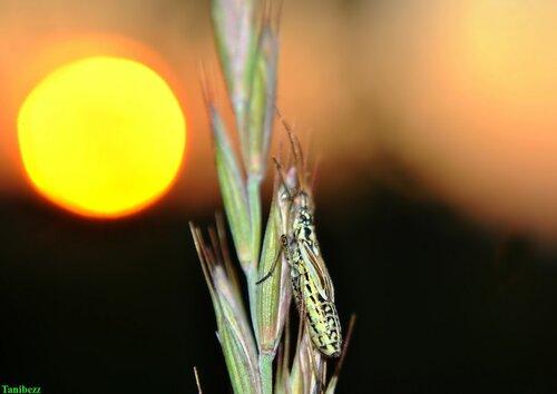 Слепняк (клоп) злаковый луговой / Leptopterna dolabrata