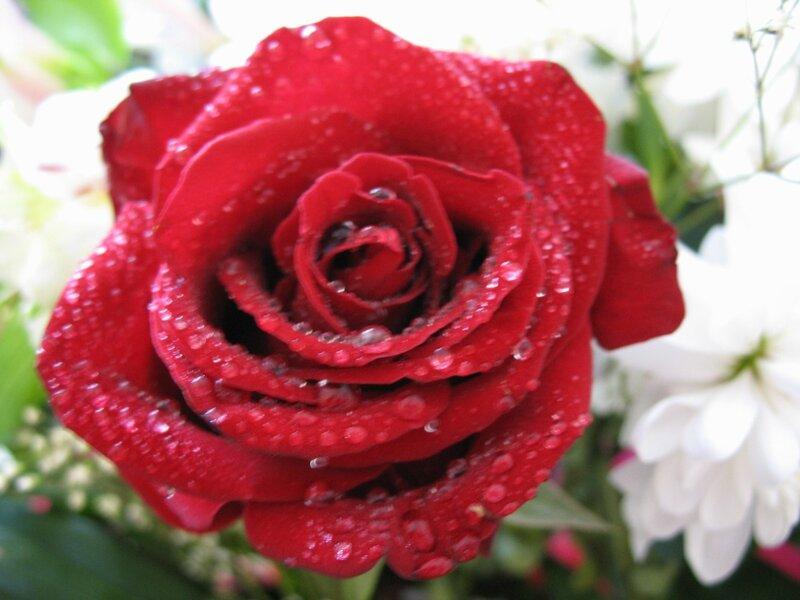 красивые розы красные фото