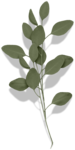 cvd secrets of the heart eucalyptus leaves 2 +S.png