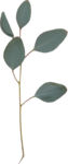 cvd secrets of the heart eucalyptus leaves.png