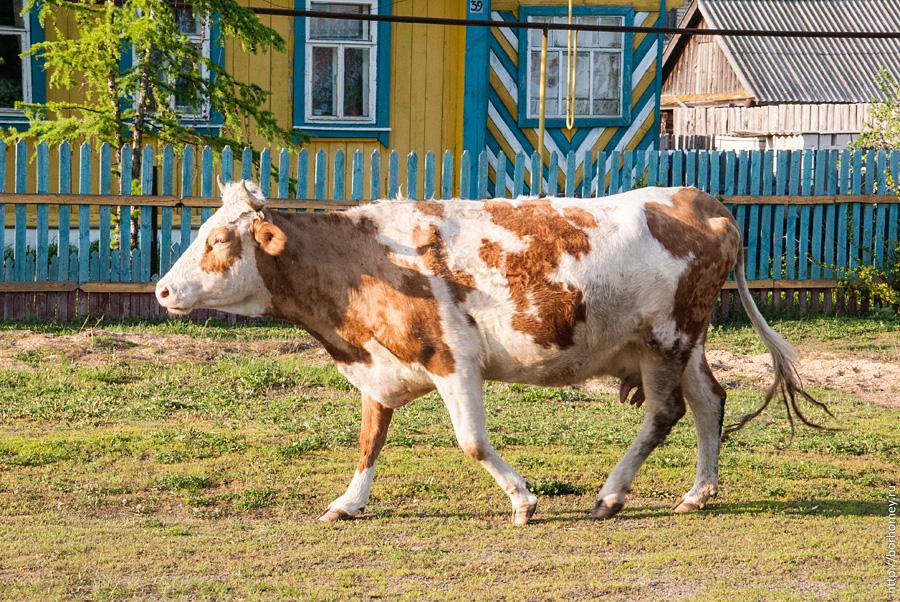 корова с рыжими пятнами