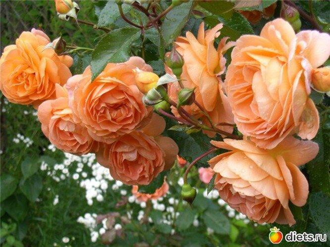 Если роза является вашим любимым цветком, то вы можете создать свой собственный, красиво оформленный розарий на своем...
