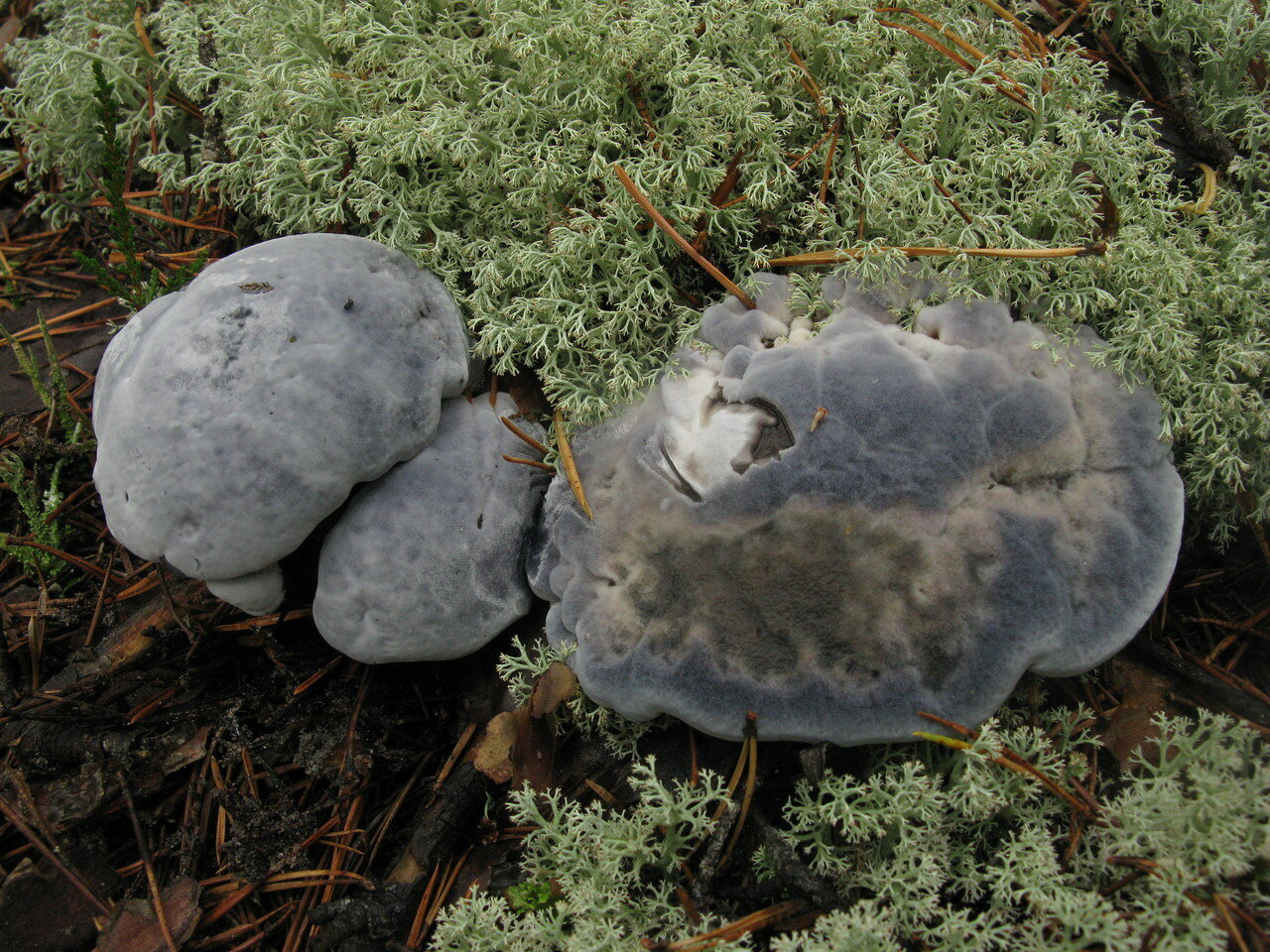 Гиднеллум голубой (Hydnellum caeruleum). Автор фото:Станислав Кривошеев
