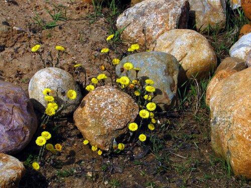 Мать-и-мачеха среди камней