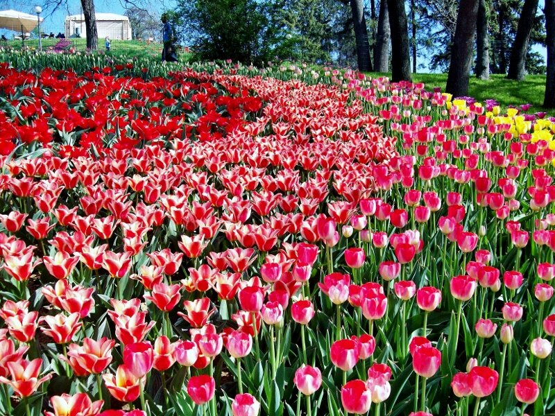 Клумба тюльпанов разных сортов