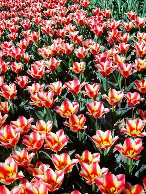 Вторая киевская выставка тюльпанов