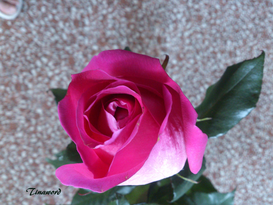 роза-0.jpg