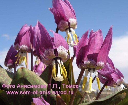 Кандык сибирский - самый ранний первоцвет