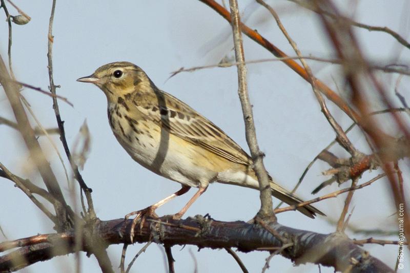 Птицы челябинска фото с названиями и описанием
