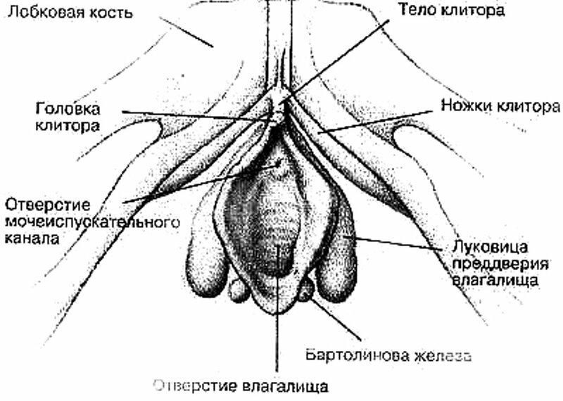 zhenskoy-stroenie-vlagalisha