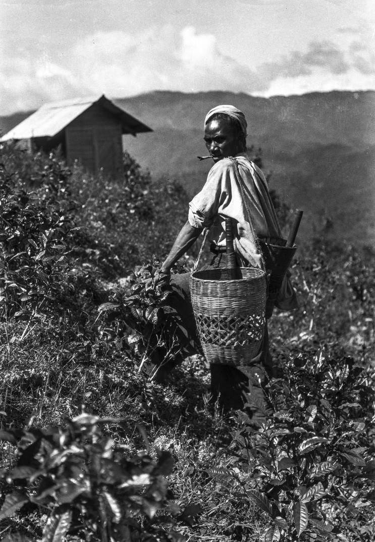 955. Выращивание чая