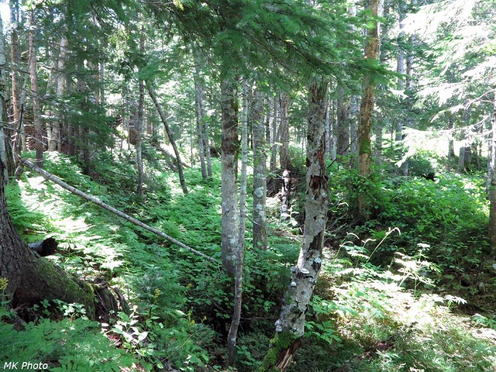 В пихтовом лесу